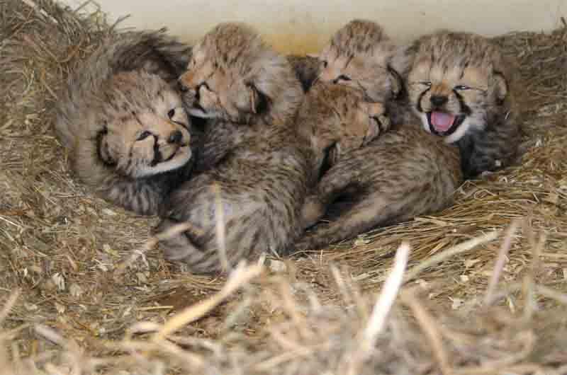 Los ultra ricos están comprando guepardos que conducen a su extinción