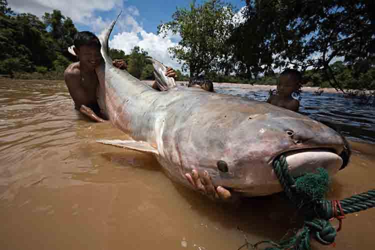 Peces gigantes de rio al borde de la extinción