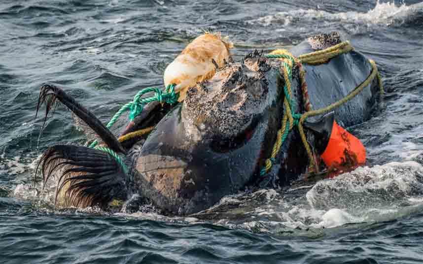 El plan de Canadá para proteger a las ballenas en peligro de extinción se basa en robots