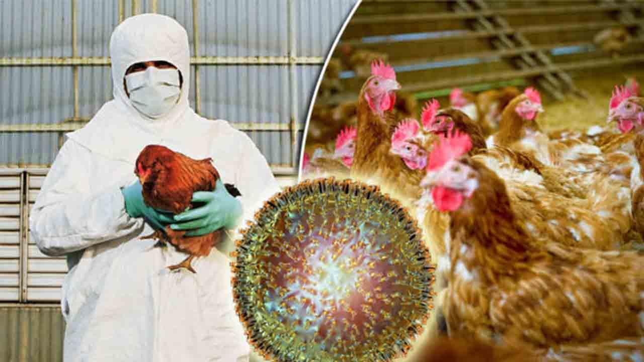 Un brote de gripe aviar en Japón obliga a sacrificar a miles de pollos