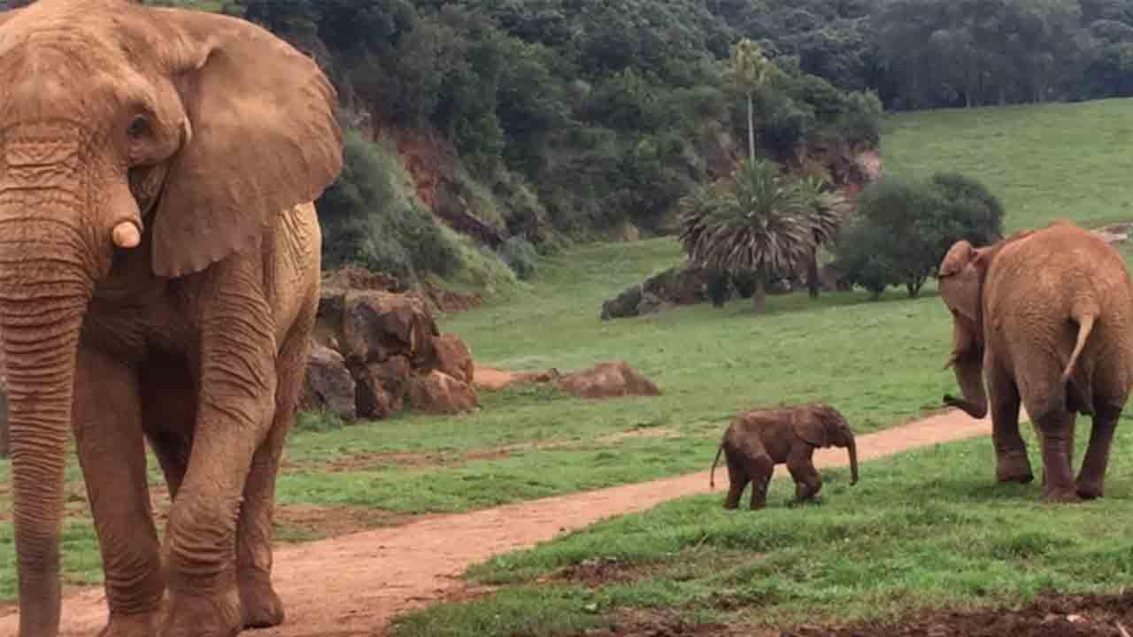 Nace el primer elefante africano de tercera generación en Cantabria