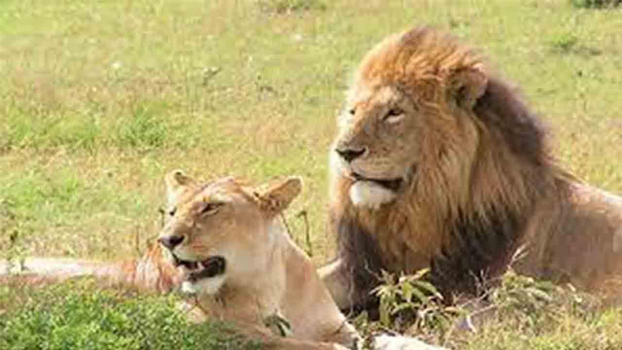 Investigan la muerte de seis leones en Uganda que podrían haber sido envenenados