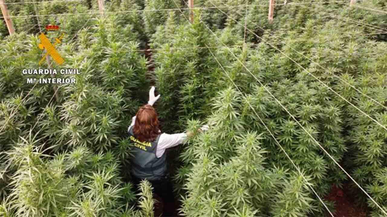 Intervenidas 125.000 plantas de cannabis en ocho plantaciones de cáñamo